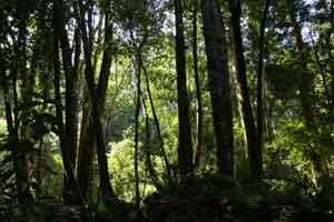 knysnaforest-trees